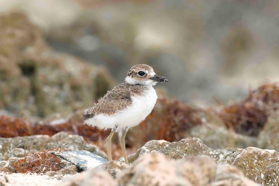 Wilson's Plover chick.Delphi Club.Abaco Bahamas.Tom Sheley