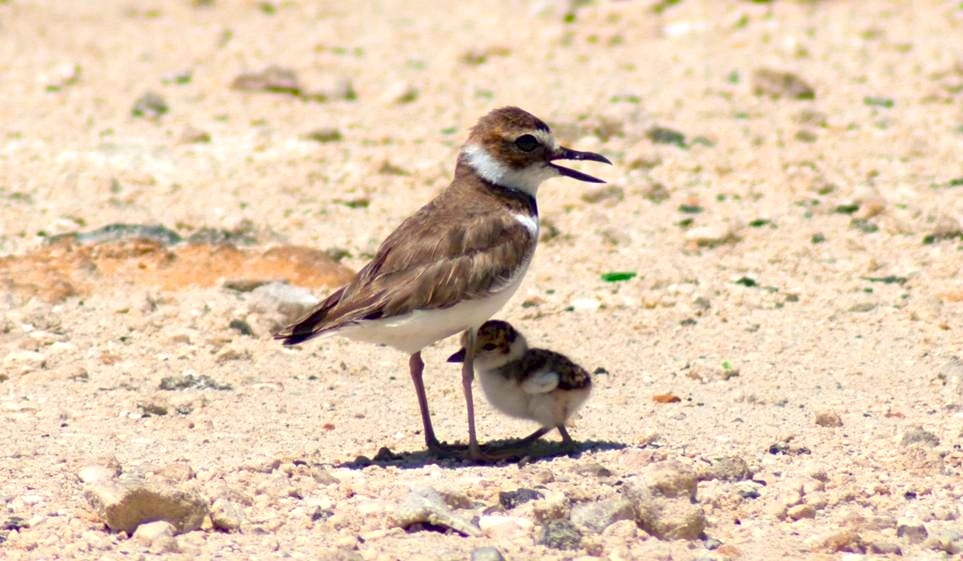 Wilson's Plover & Chick - Sandy Walker, Abaco Bahamas