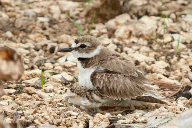Wilson's Plover + chicks 2.Abaco Bahamas.6.13.Tom Sheley