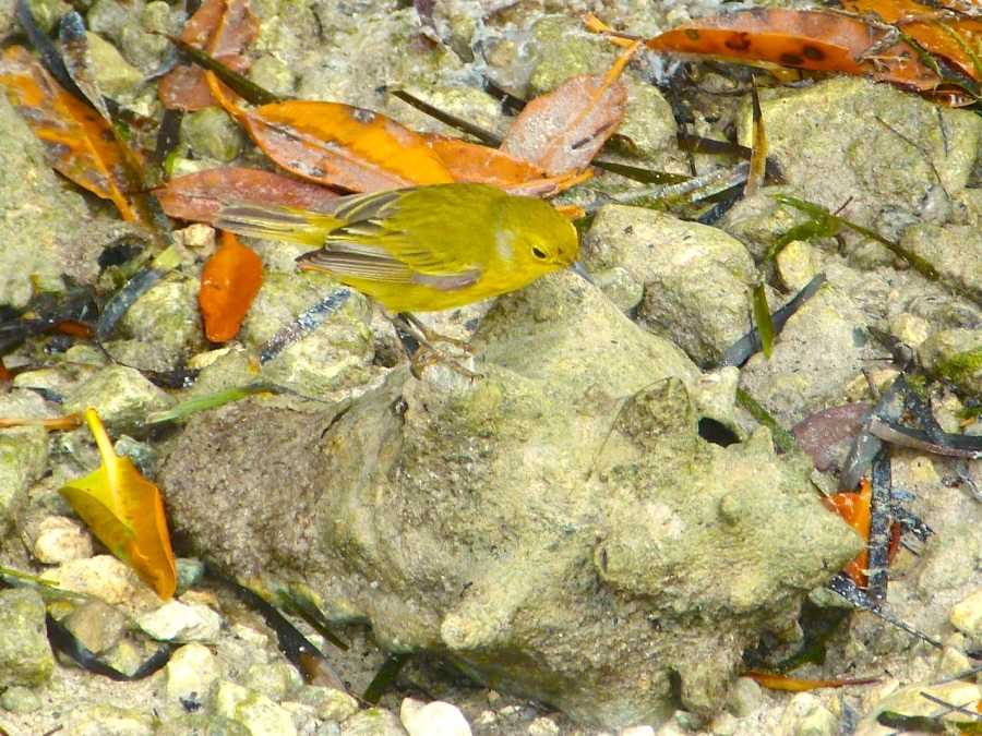 Yellow Warbler, Abaco (Keith Salvesen)