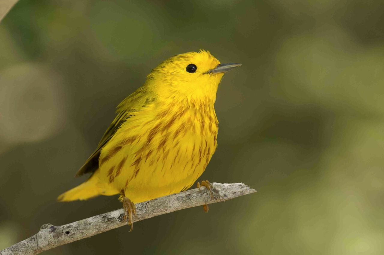 Yellow Warbler, sunrise, Abaco Bahamas (Tom Sheley)