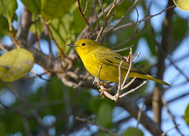 Yellow Warbler (f), Abaco Bahamas (Bruce Hallett)