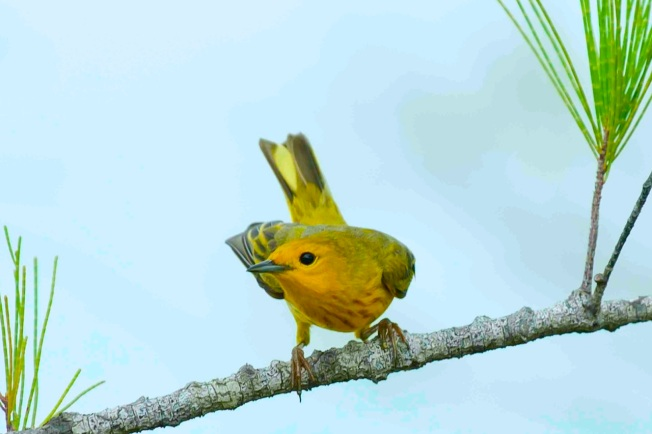 Yellow Warbler male2.Abaco Bahamas.6.13.Tom Sheley