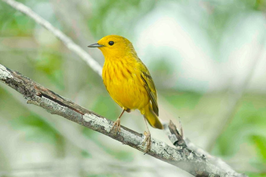 Yellow Warbler male3.Abaco Bahamas.6.13.Tom Sheley