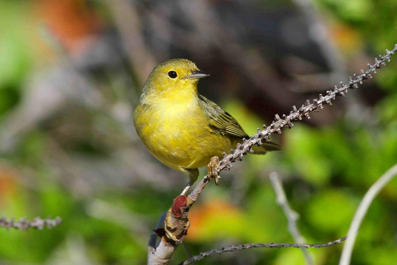 YEWA 2_Bahamas-Great Abaco_5165_Yellow Warbler_Gerlinde Taurer copy