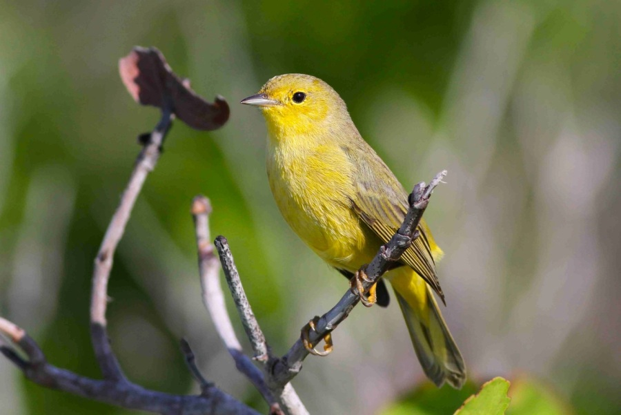 YEWA_Bahamas-Great Abaco_5204_Yellow Warbler_Gerlinde Taurer copy