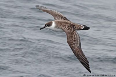 Great Shearwater in flight (Hardaker)