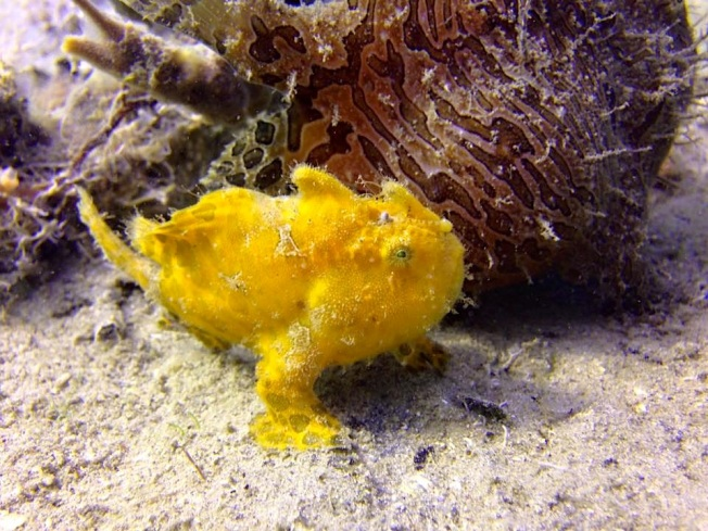 Frogfish (Adam Rees Scuba Works)