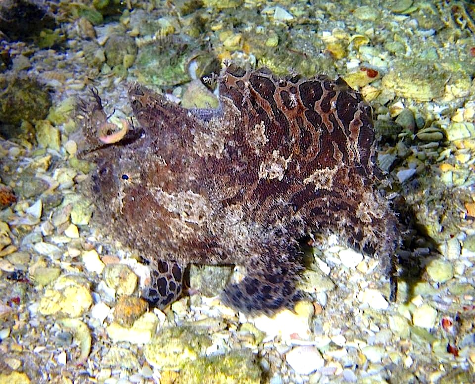 Frogfish (Adam Rees, Scuba Works)