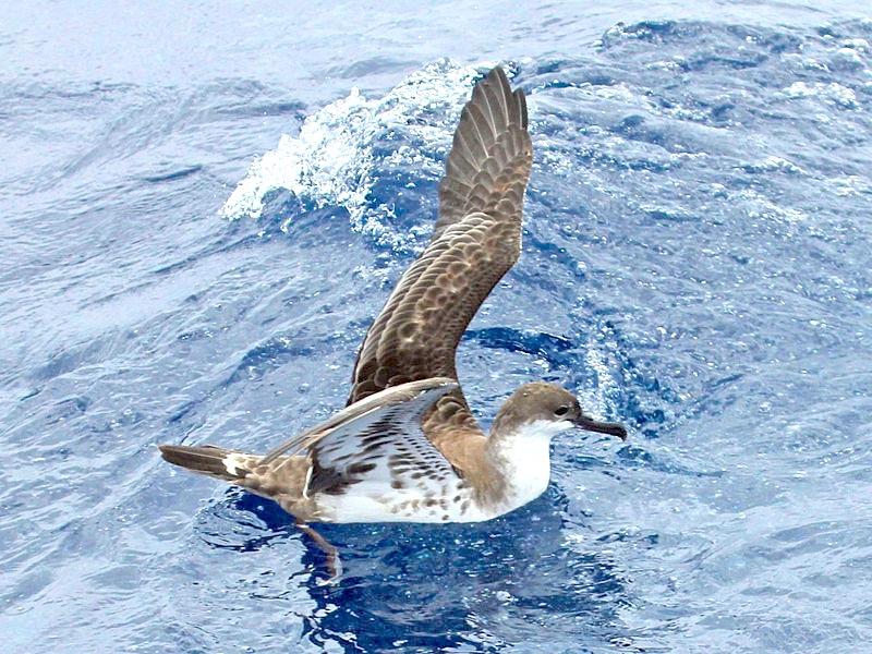 Shearwater Die-off | ROLLING HARBOUR ABACO