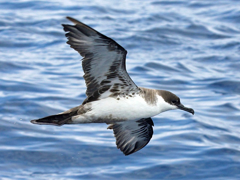 Great Shearwater (part of a die-back event on Abaco) - Dick Daniels