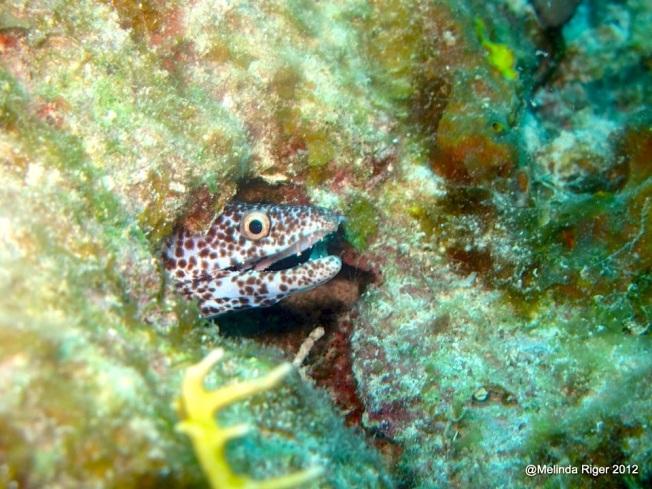 BABY Spotted Moray Eel, Bahamas (Melinda Riger Grand Bahama Scuba)