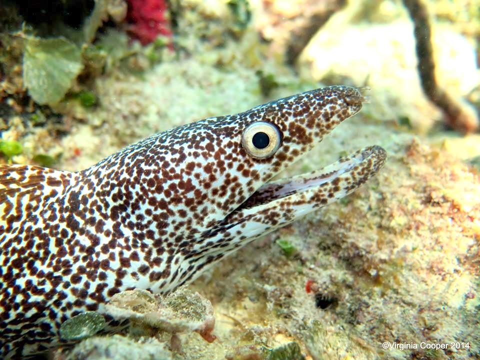 Spotted Moray Eel, Bahamas (Melinda Riger Grand Bahama Scuba)