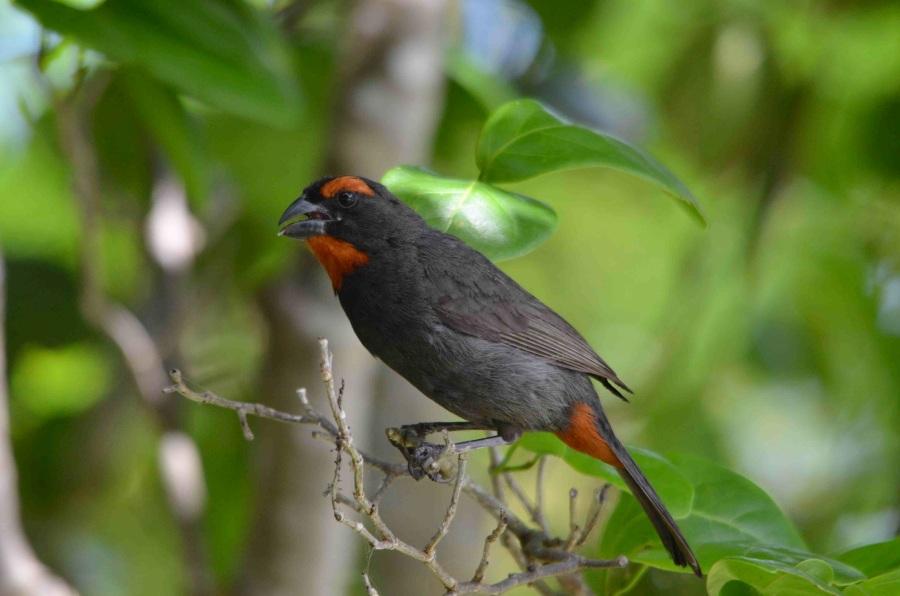 Great Antillean Bullfinch, Abaco (Charles Skinner)