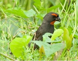 Great Antillean Bullfinch, Abaco  (Tom Sheley) 1