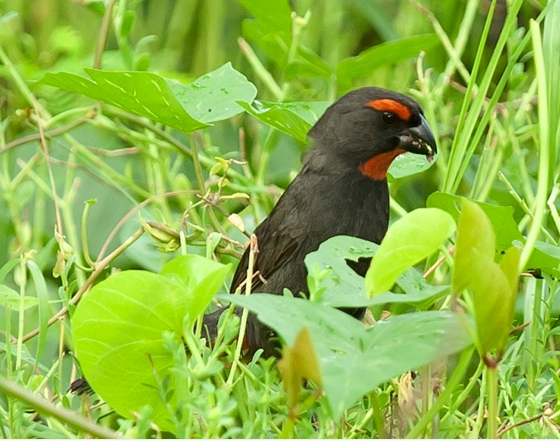 Great Antillean Bullfinch, Abaco  (Tom Sheley) 1