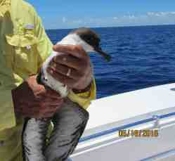 Great Shearwater, Abaco boated (Woody Bracey)