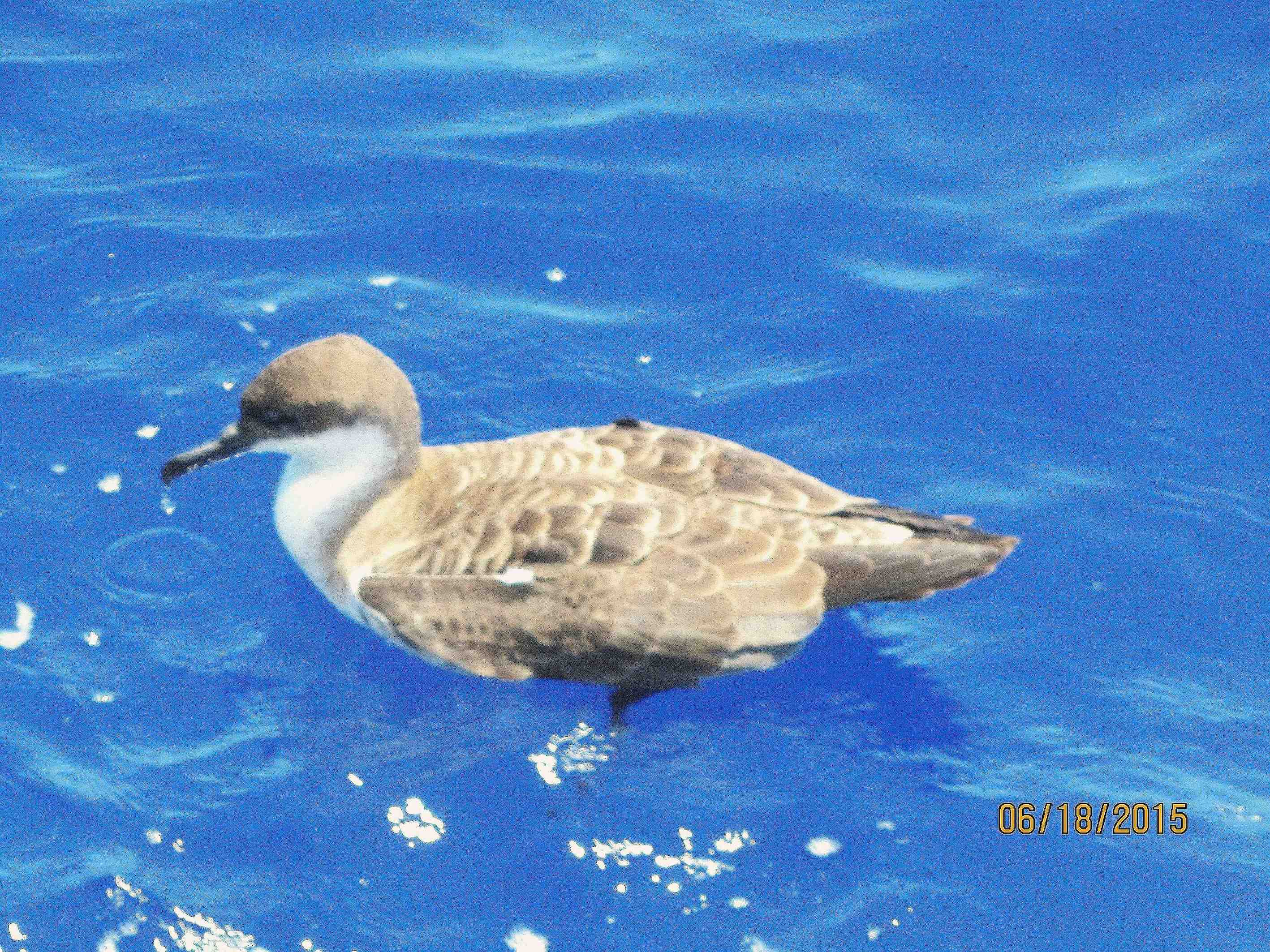 Great Shearwater Bahamas | ROLLING HARBOUR ABACO