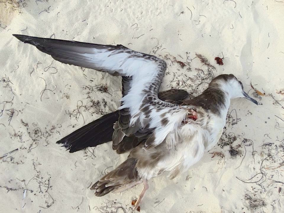 Great Shearwater (dec'), Abaco (Melissa Maura)
