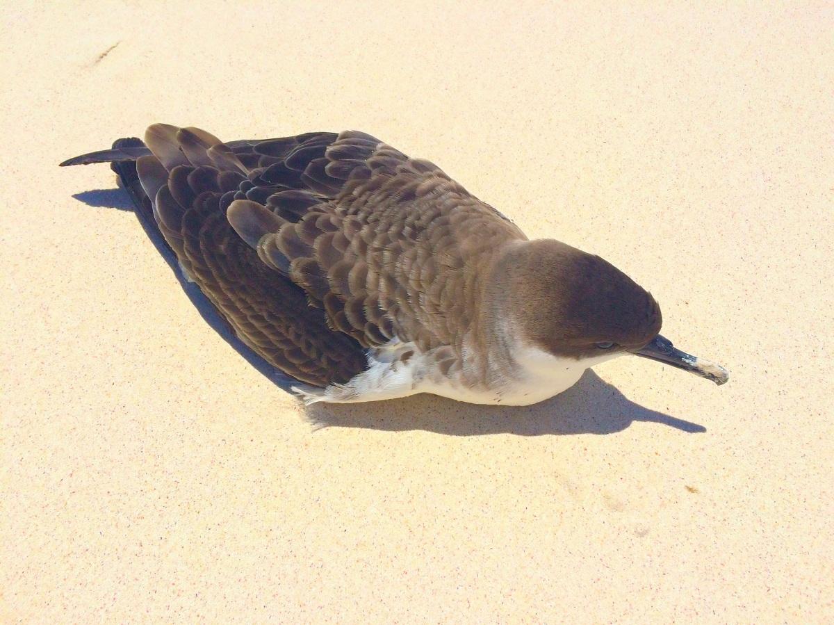 Audubons Shearwater Abaco Bahamas (Sharon Elliott)