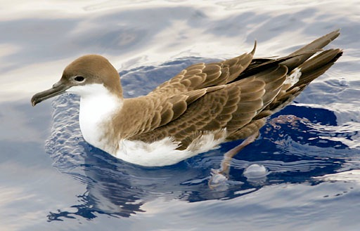 GREAT SHEARWATER Puffinus gravis (Patrick Coin Wiki)