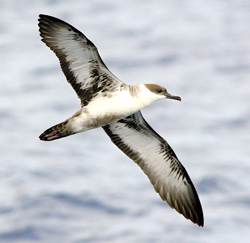 Great Shearwater Puffinus gravis - Patrick Coin Wiki