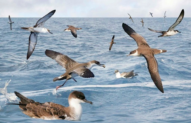 Great_Shearwater_from_the_Crossley_ID_Guide_Britain_and_Ireland