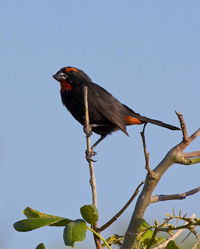 Greater Antillean Bullfinch, Abaco (Alex Hughes) 4