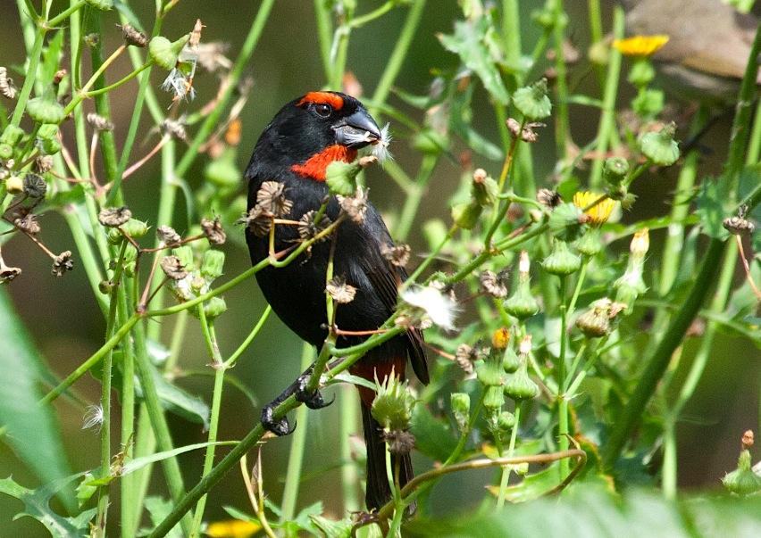 Greater Antillean Bullfinch, Abaco (Erik Gauger)