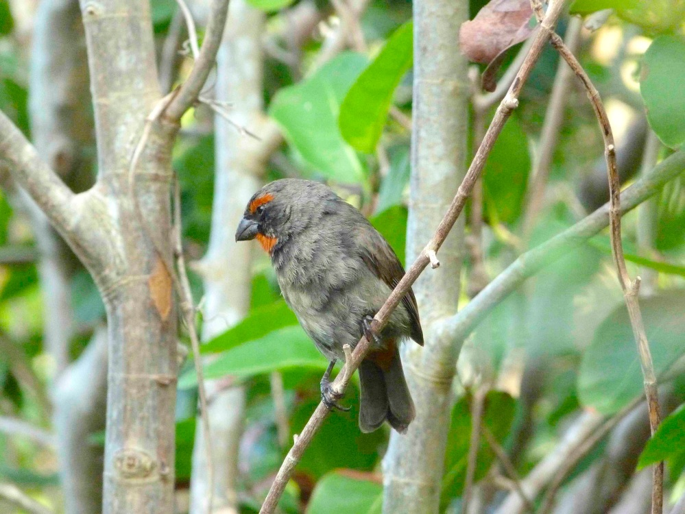 Greater Antillean Bullfinch, Abaco (Keith Salvesen)