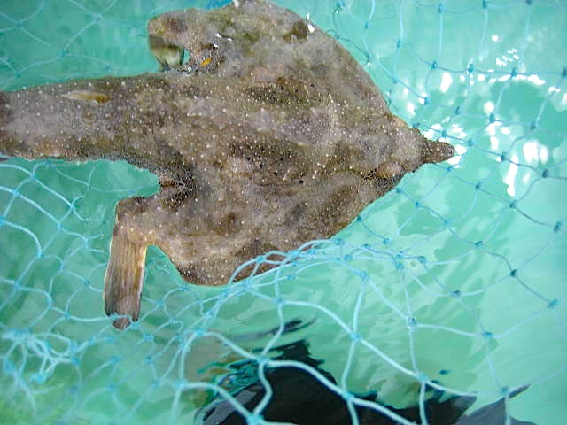 Batfish, Abaco 1 (Ellen Sokol, Kiskeedee Sailing)