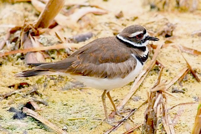 Killdeer - Harrold & Wilson Ponds, NP (Rick Lowe) copy
