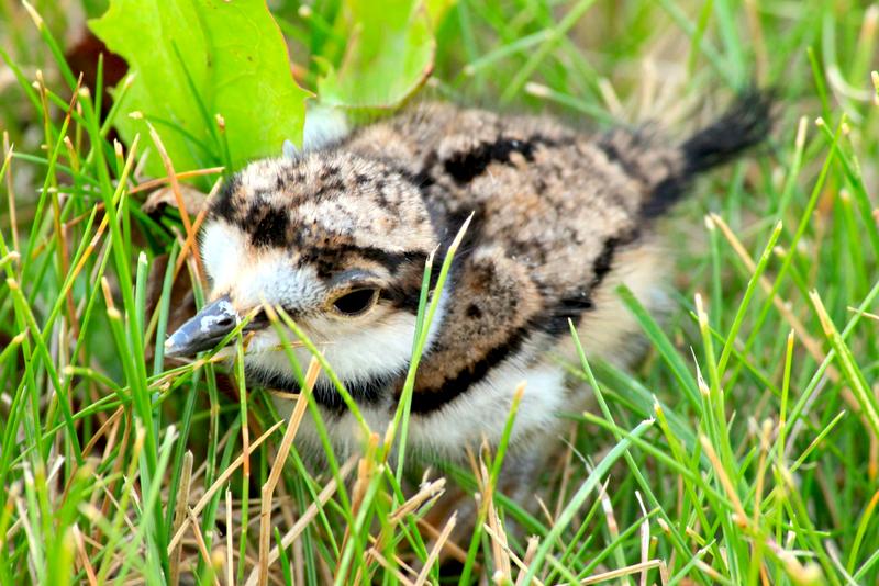Killdeer hatchling (NTox)