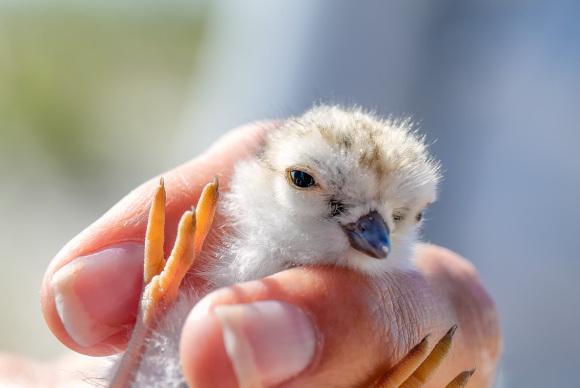 Piping Plover chick on LBI (Northside Jim Verhagen)