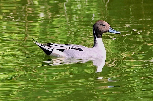 Northern Pintail, Abaco (Tony Hepburn)
