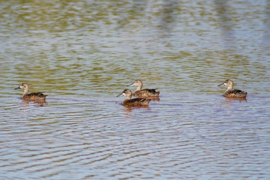 Northern Pintail (f) x 4 (Woody Bracey)