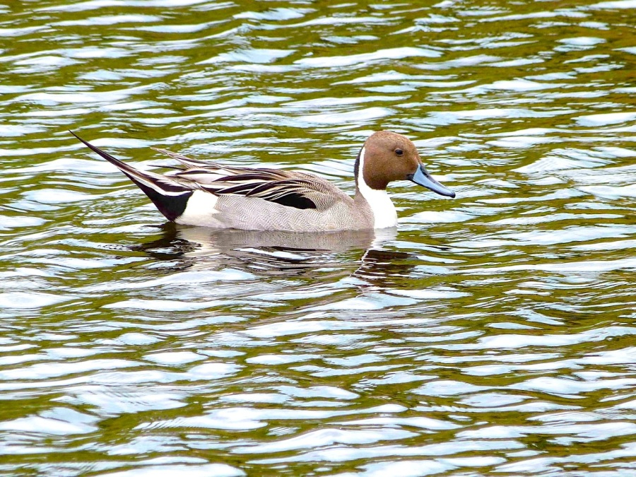 Northern Pintail, Abaco (Keith Salvesen)