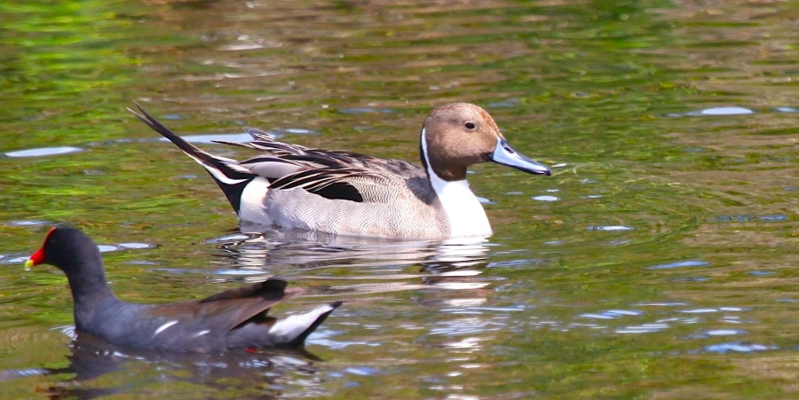 Northern Pintail PM IMG_5342 copy 2