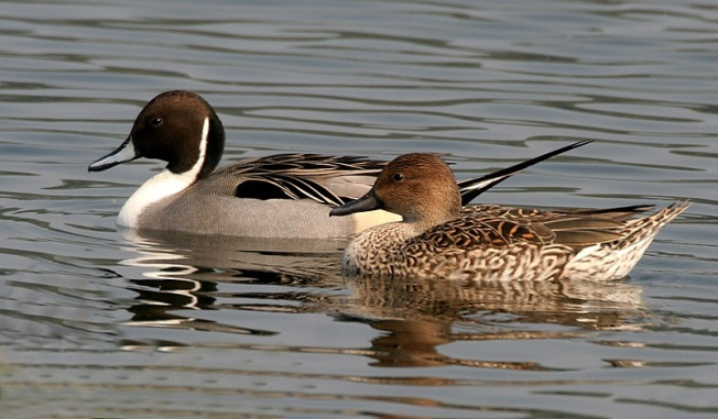 Northern Pintails (M & F) J M Garg