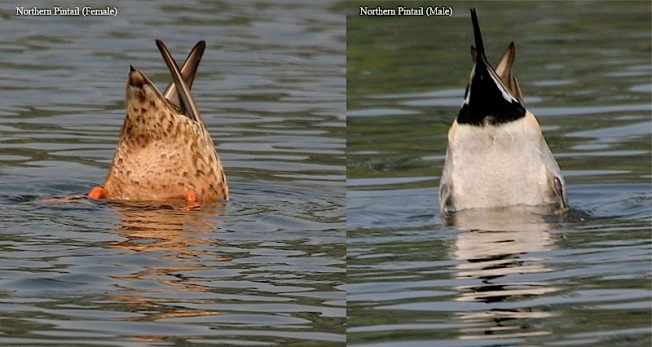 Northern Pintails (M & F) Up-ending (J M Garg)jpg