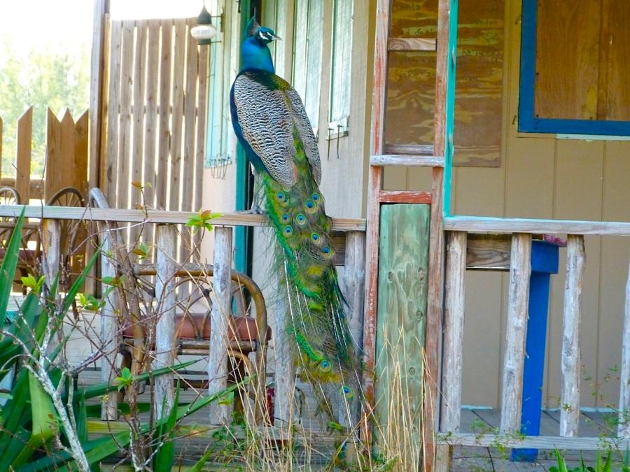 Peacock, Casuarina, Abaco (Keith Salvesen)