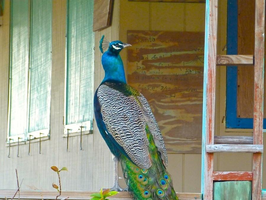 Feral Peacock, Casuarina, Abaco (Keith Salvesen)