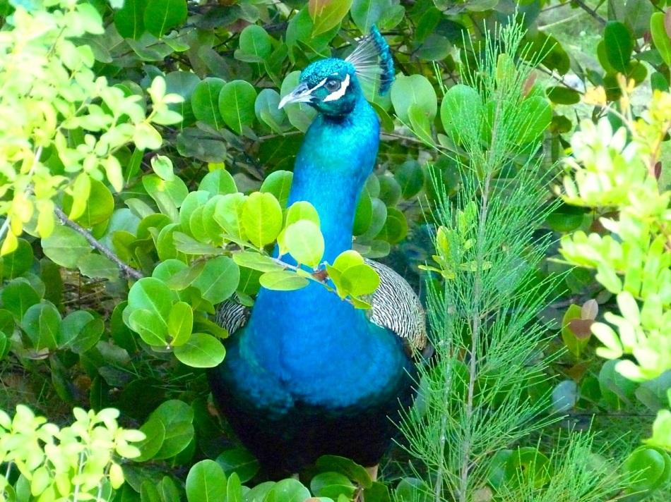 Peacock, Casuarina, Abaco (Sally Salvesen)