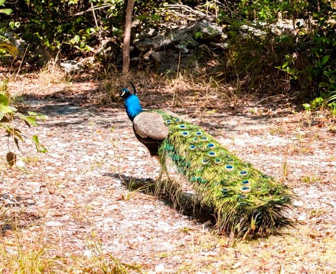 Peacock, Abaco (Nina Henry) 3