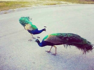 Peacocks (Cherokee Road)  Abaco (Celia Rogers)