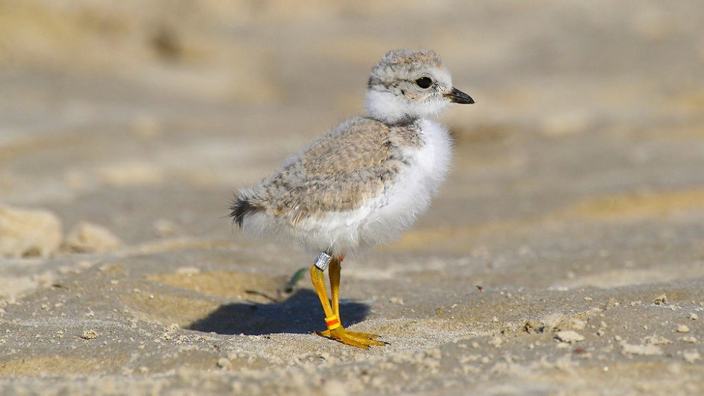Piping Plover Charadrius melodus (Ontario, MDF / wiki)