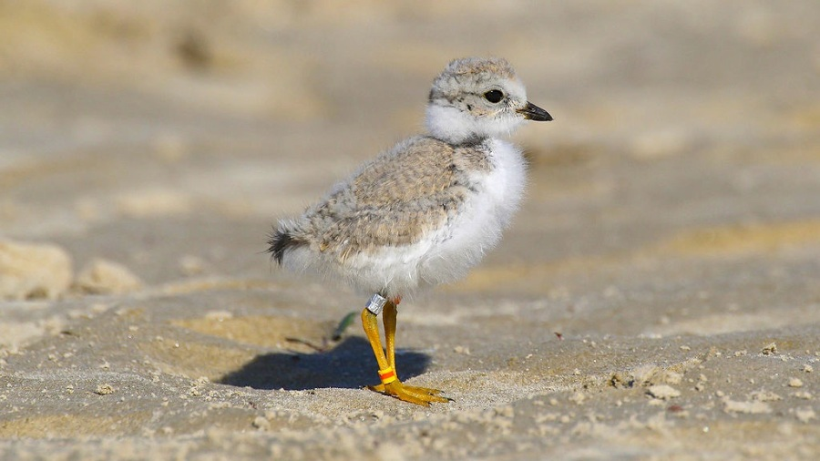 Piping Plover Chick (MDF / Wiki)