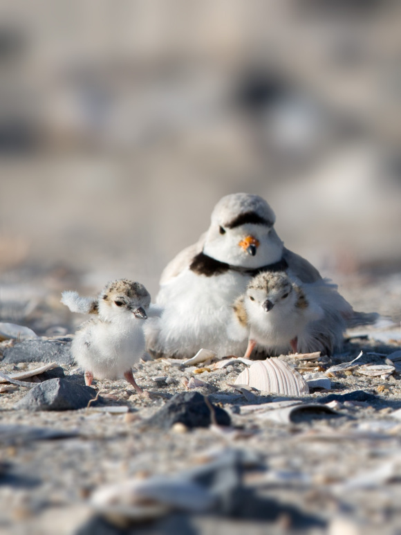 piping-plover-chick-leaves-nest