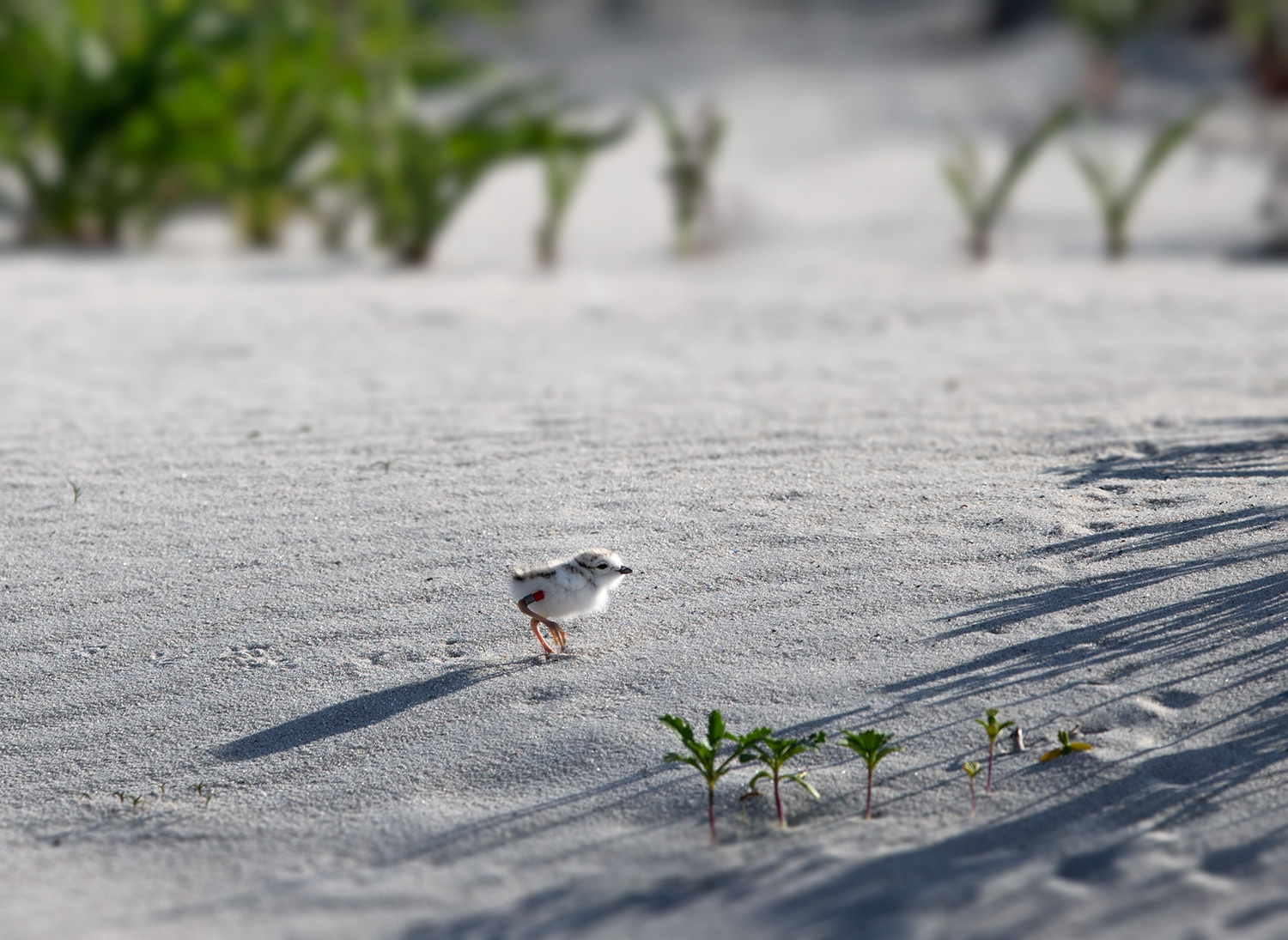 piping-plover-chick-sneaking-through-dune