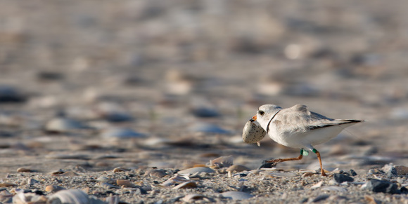 piping-plover-remove-eggshell-nest